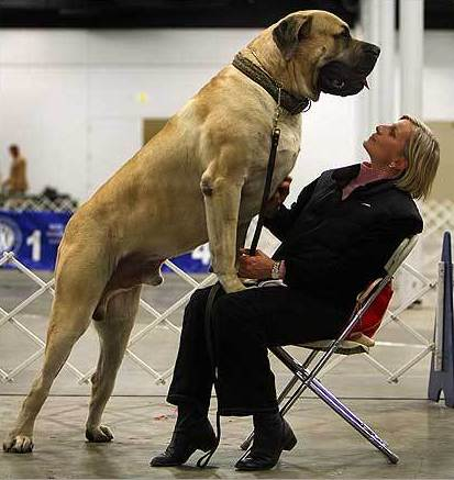 Top 10 Largest Dog Breeds in the World 2020