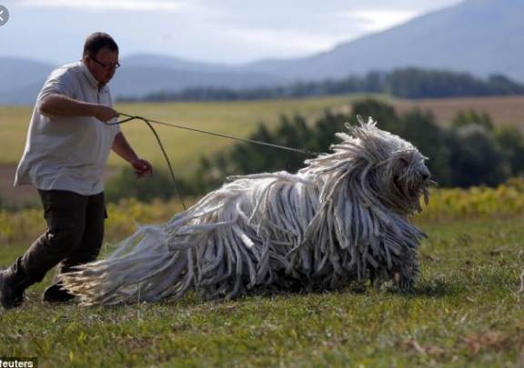 Top 10 Largest Dog Breeds in the World 2021