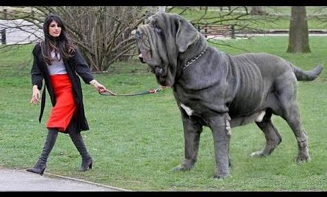 10 Largest Dog Breeds in the World 2020