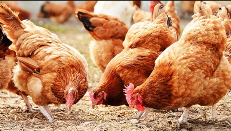 Full Costs and how to start Small scale poultry farming business in Nigeria