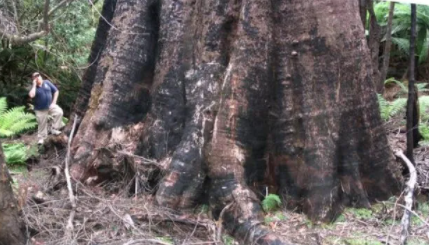 Top 10 Biggest Trees in the World 2021