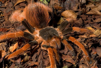 Top 10 Biggest Spiders in the World 2021