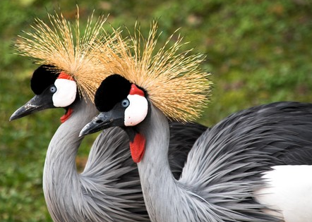 Most Beautifully Crowned Birds in the World