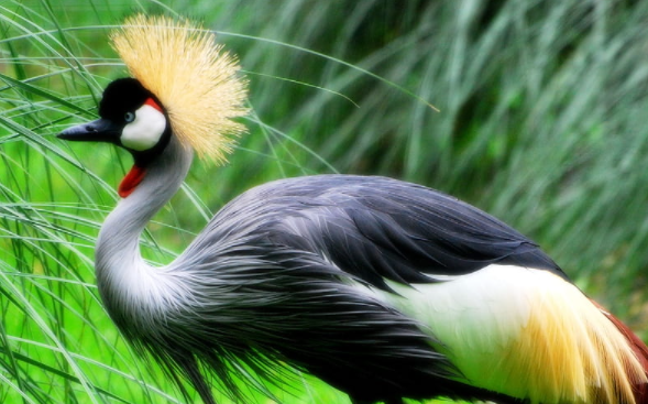 Top 10 Most Beautifully Crowned Birds in the World 2021